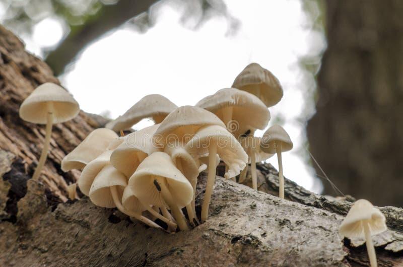 Champignons blancs sur une branche d'arbre photographie stock libre de droits