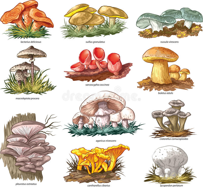 Champignons comestibles illustration de vecteur