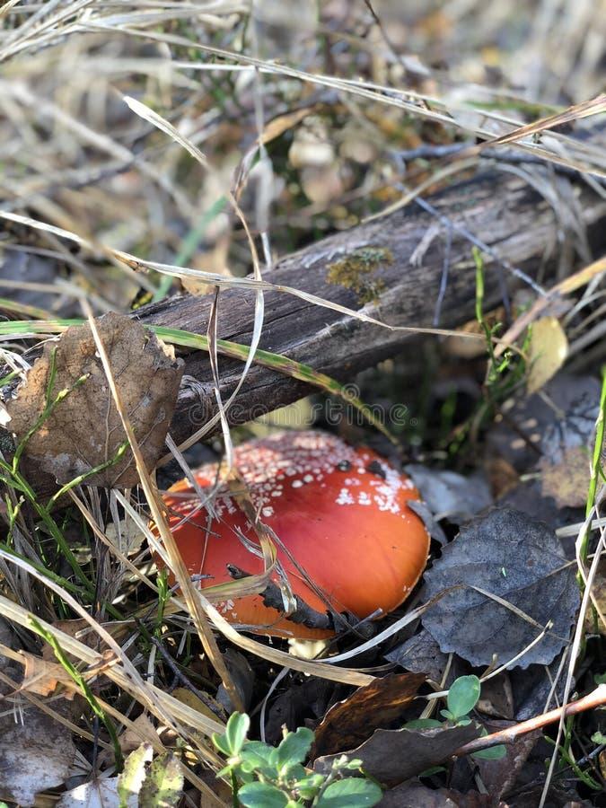Champignons d'automne, amanite, dans les feuilles, dans l'herbe, champignons images libres de droits