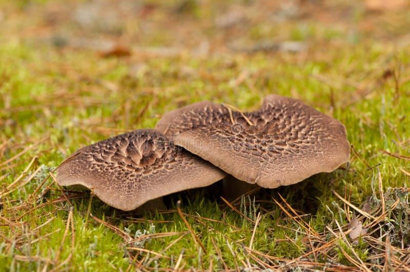 Champignons d'imbricatus de Sarcodon photo stock