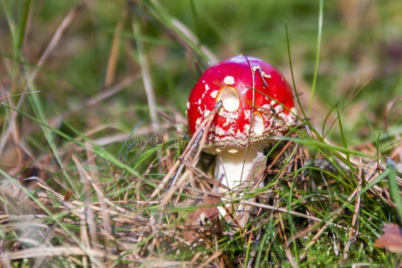 Champignons dans les bois en Lettonie photographie stock