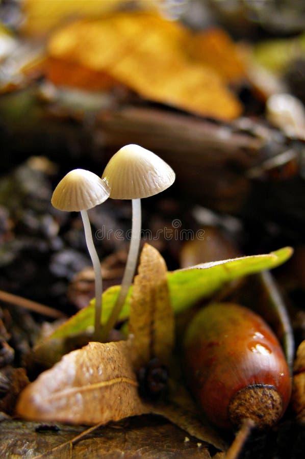 Champignons de couche d'automne dans la forêt photographie stock