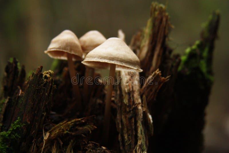 Champignons de couche dans la forêt d'automne photographie stock
