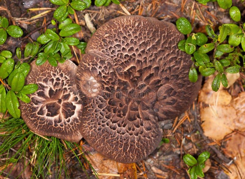 Champignons de couche de Brown en bois images stock