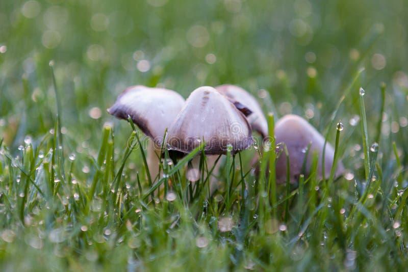 Champignons de couche de capuchon d'encre le matin photographie stock libre de droits
