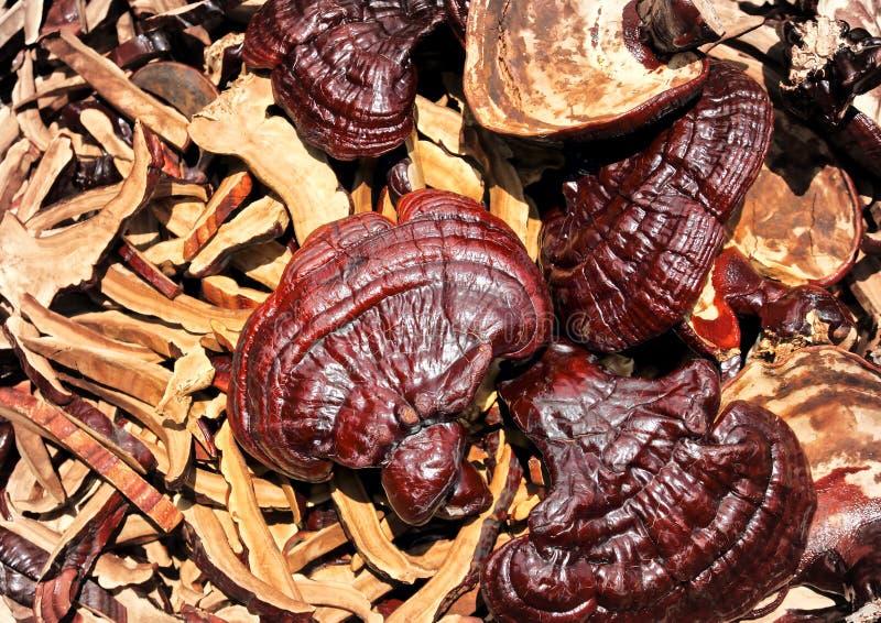 Champignons de couche de Lingzhi photo stock