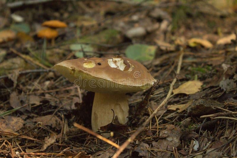 Champignons de couche Mycète blanc photographie stock