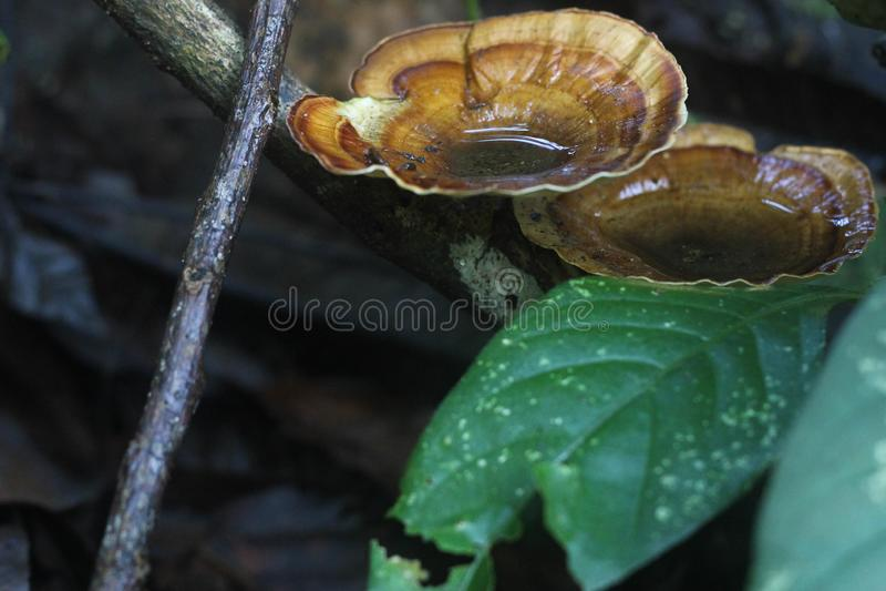 Champignons de couche sauvages photo libre de droits