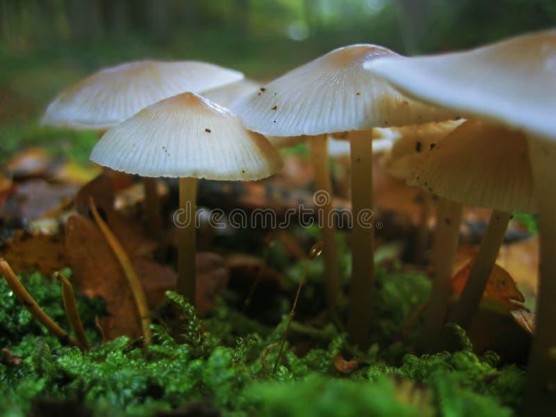 Champignons de couche sauvages photos stock
