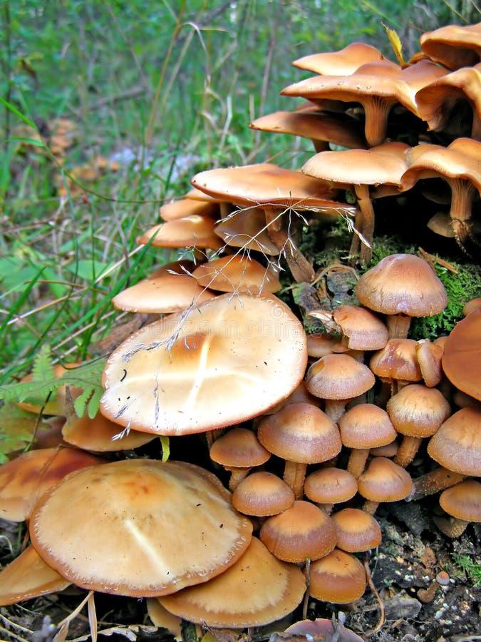 Champignons de couche toxiques photo libre de droits