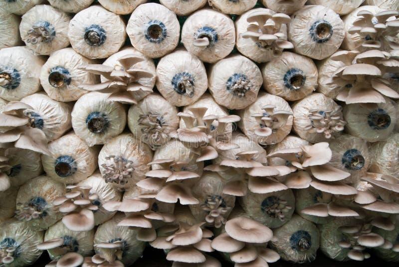 Champignons de crèche photos stock