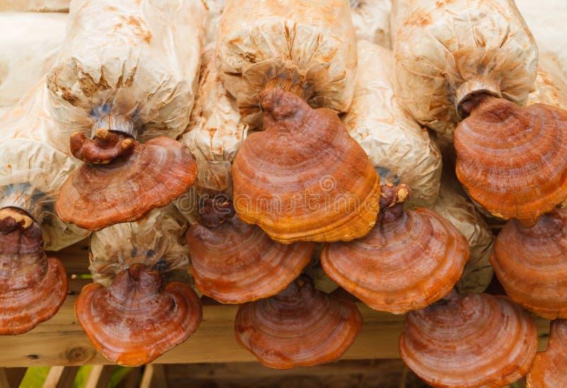 Champignons de Lingzhi dans la ferme de champignon photographie stock