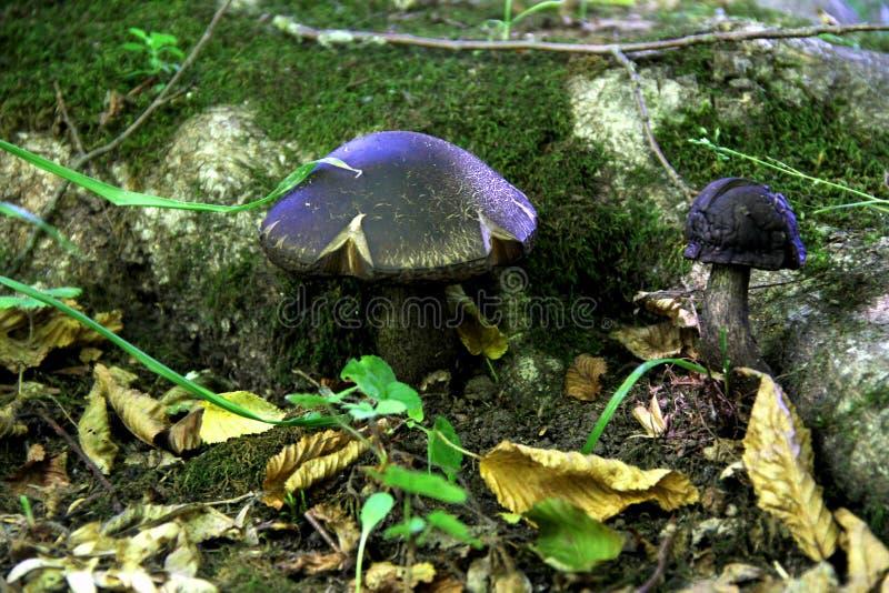 Champignons de magie de forêt de féerie photos stock
