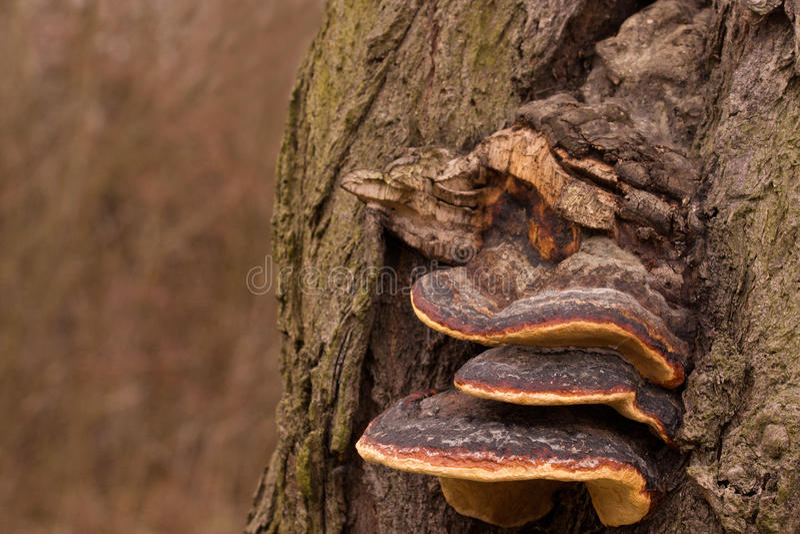 Champignons de matière inflammable s'élevant sur un arbre de hêtre image stock
