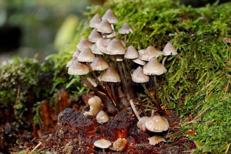 Champignons de Mycenacea, parc d'état de lac battle Ground, champ de bataille, Washington, Etats-Unis photographie stock libre de droits