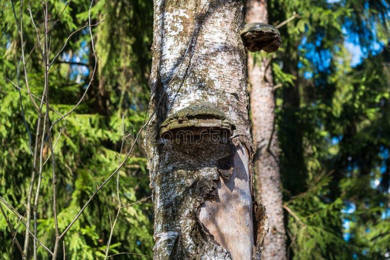 Champignons de Polypore sur un vieux tron?on photographie stock