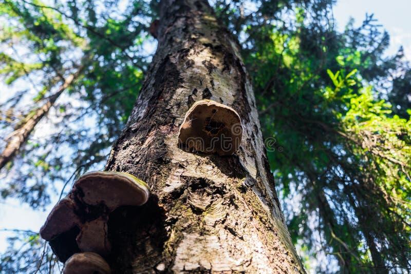Champignons de Polypore sur un vieux tron?on photo stock