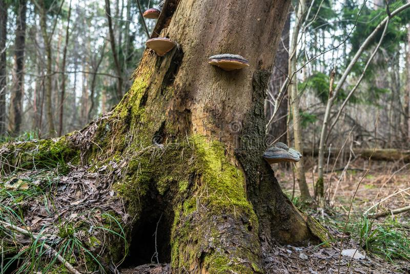 Champignons de Polypore sur un vieux tron?on image libre de droits