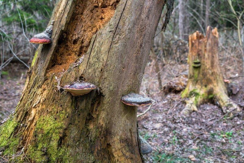 Champignons de Polypore sur un vieux tron?on photo libre de droits