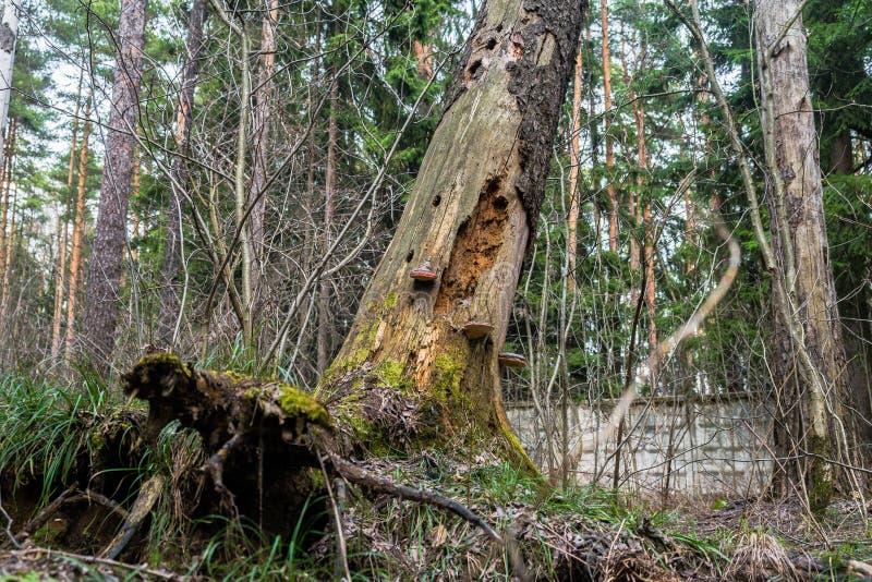 Champignons de Polypore sur un vieux tron?on photographie stock libre de droits