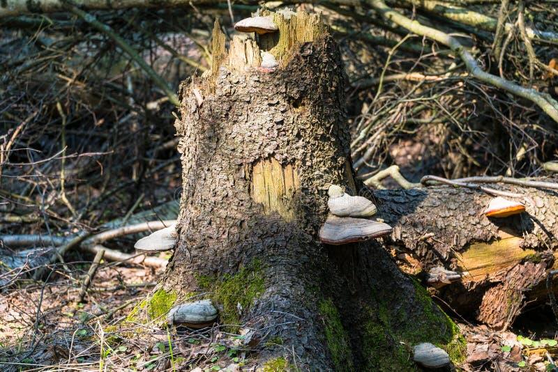 Champignons de Polypore sur un vieux tron?on images stock