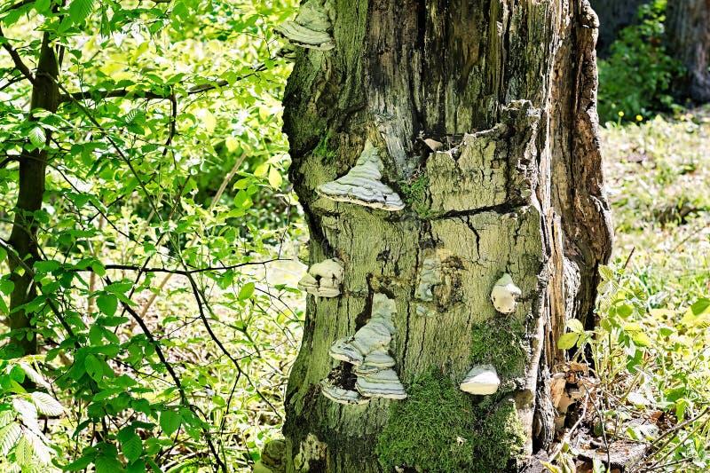 Champignons de sabot s'élevant sur un tronc d'arbre mort images stock