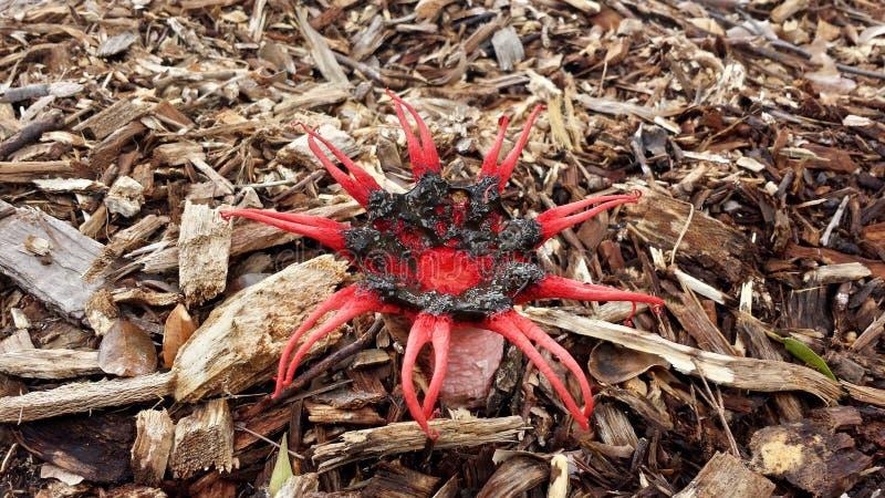 Champignons de Stinkhorn, rubra d'Aseroe, rubicundus de phallus photo libre de droits