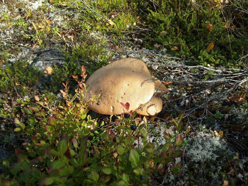 Champignons en été dans loin le du nord, parmi la nature pure photos stock