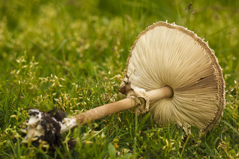 Champignons en vert d'herbe photo de champignon, champignon d'amanite, photo libre de droits