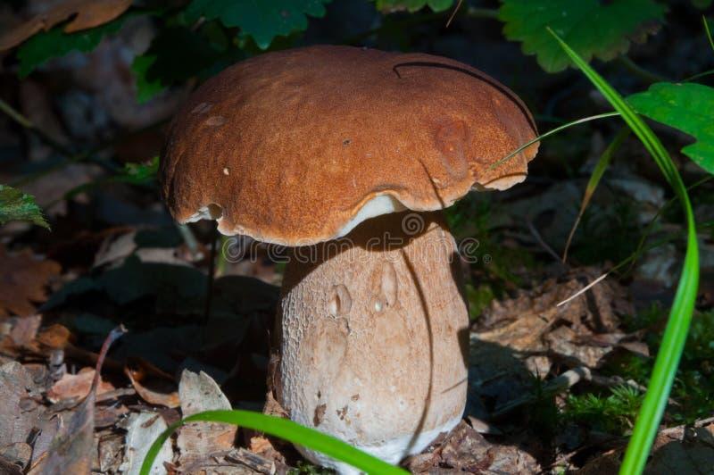 Champignons, forêt, organismes eucaryotiques, nourriture, nature, faune photos libres de droits