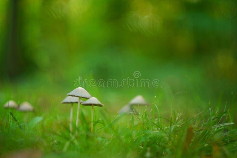 Champignons fragiles dans l'herbe images libres de droits