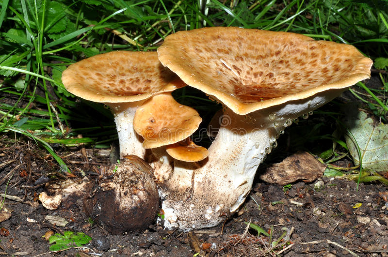 Champignons sauvages photographie stock