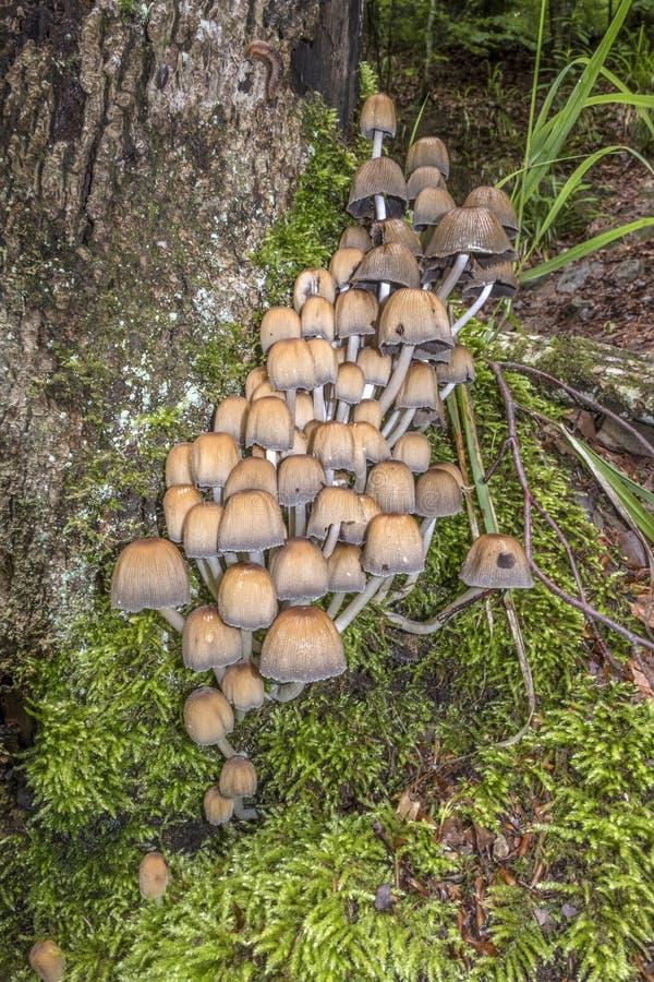 Champignons sauvages, connus sous le nom de chapeau de scintillement d'encre, s'élevant sur un moussu photographie stock