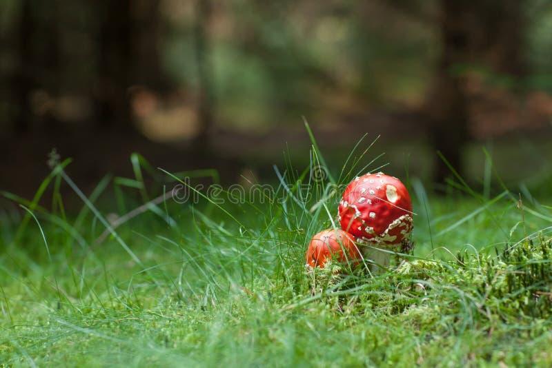 Champignons toxiques d'amanite photographie stock libre de droits
