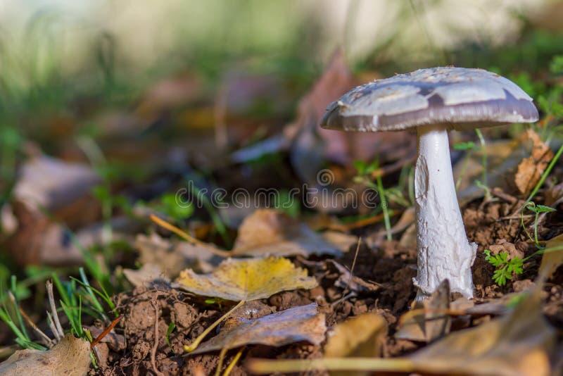 Champinjon i skogen på säng av sidor fotografering för bildbyråer