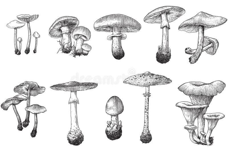 Champinjon vektor, teckning, gravyr, illustration, uppsättning, samling vektor illustrationer