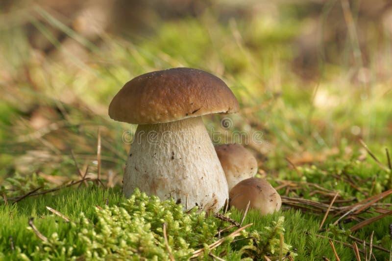 ChampinjonBolete, svamp i den lösa sopppinophilusen royaltyfri fotografi