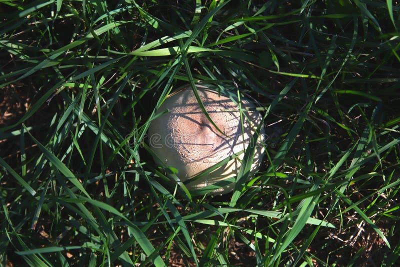 Champinjonchampignon som döljer i det gröna gräset Skörd av hösten grönsaker för rad för mat för bönamorotblomkålar naturliga Gou royaltyfria bilder
