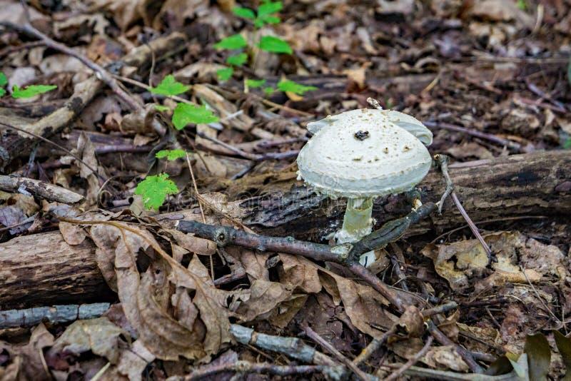 Champinjonen på skogen däckar royaltyfri bild