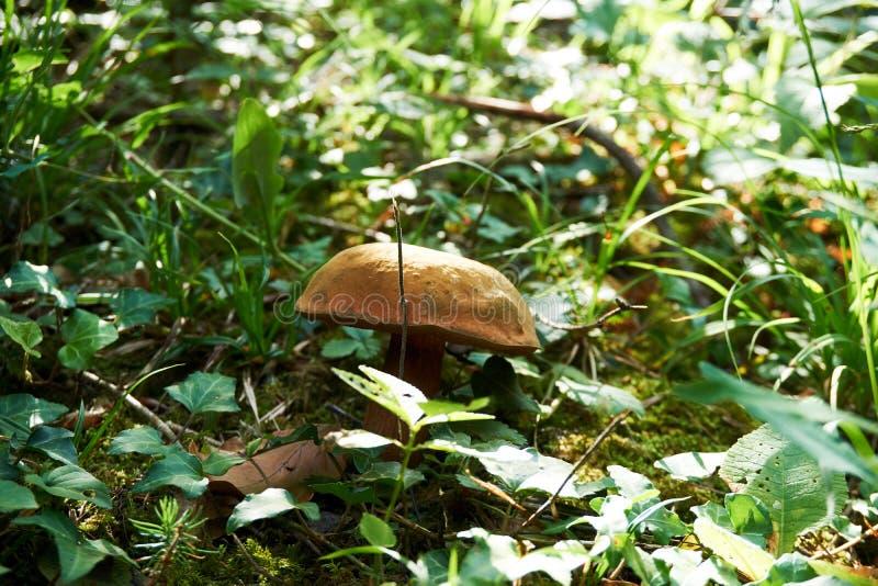 Champinjoner i skoggräs Sikt för höstskogchampinjon Champinjoner i höstskog royaltyfri fotografi