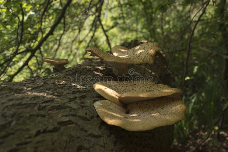 Champinjoner på det döda trädet arkivbilder