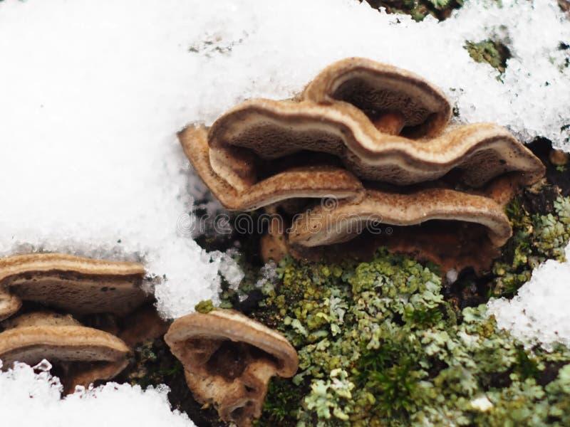 Champinjoner på ett träd i mossa som pudras med snö royaltyfri foto