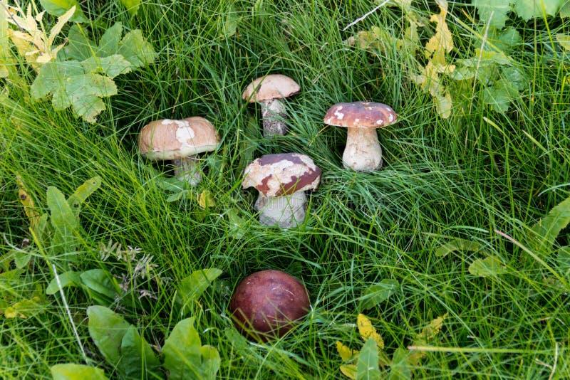 5 champinjoner på grönt gräs arkivfoton