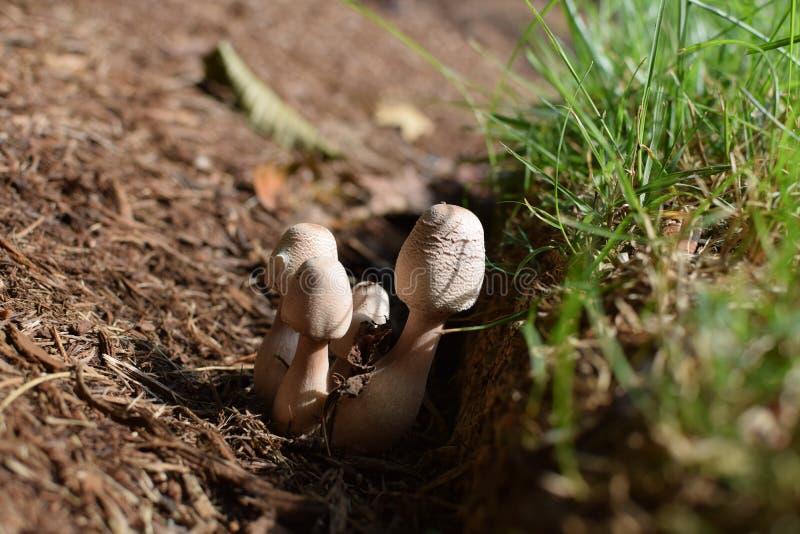 Champinjoner som växer i Wood Chips Next för att gräs arkivfoton