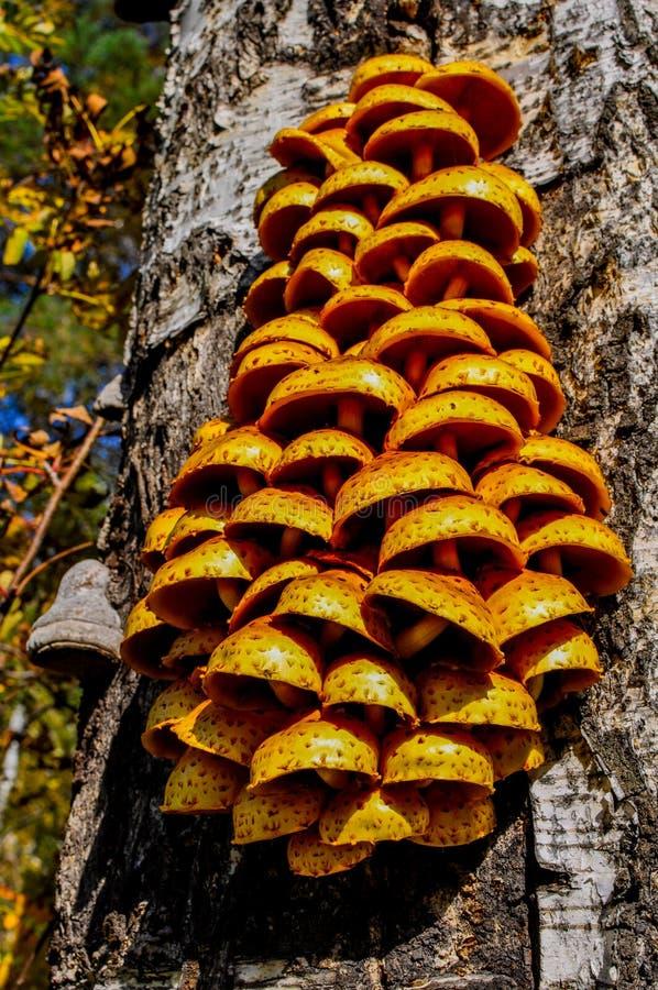 Champinjoner som växer på gammalt träd Grupp av små champinjoner på en gammal stam höstlig skog arkivbilder