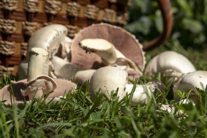 Champinjoner utan fokus, som en naturlig bakgrund Giftig champinjonAgaricus Xanthodermus som som verkliga champignons arkivbild