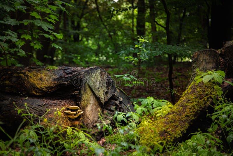 Champinjoner växer på en gammal trädstam som ligger i en skog royaltyfri foto