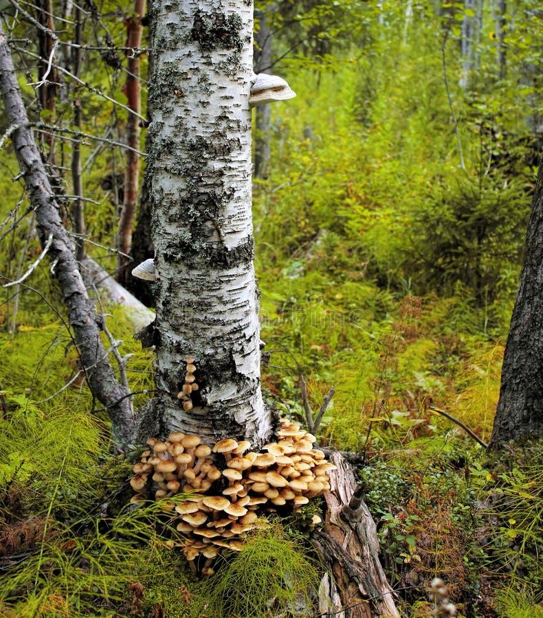 Champinjoner växer på trädskäll under höst Massiv klunga av champinjonen arkivfoton