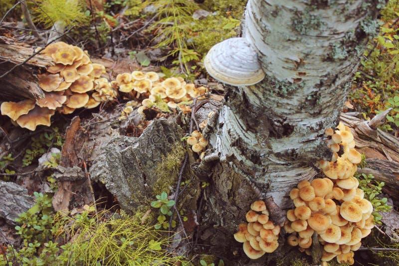 Champinjoner växer på trädskäll under höst Massiv klunga av champinjonen arkivfoto