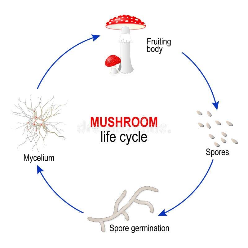 Champinjonlivcirkulering från spor till den bära frukt kroppen för Mycelium och för svampar champinjon f?r muscaria f?r amanitah? royaltyfri illustrationer